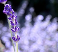 Lavender grower